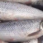 نرخ ماهی سالمون