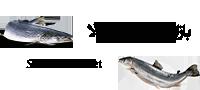 مرجع خرید و فروش ماهی و تجهیزات پرورش آبزیان | ماهی سالمون
